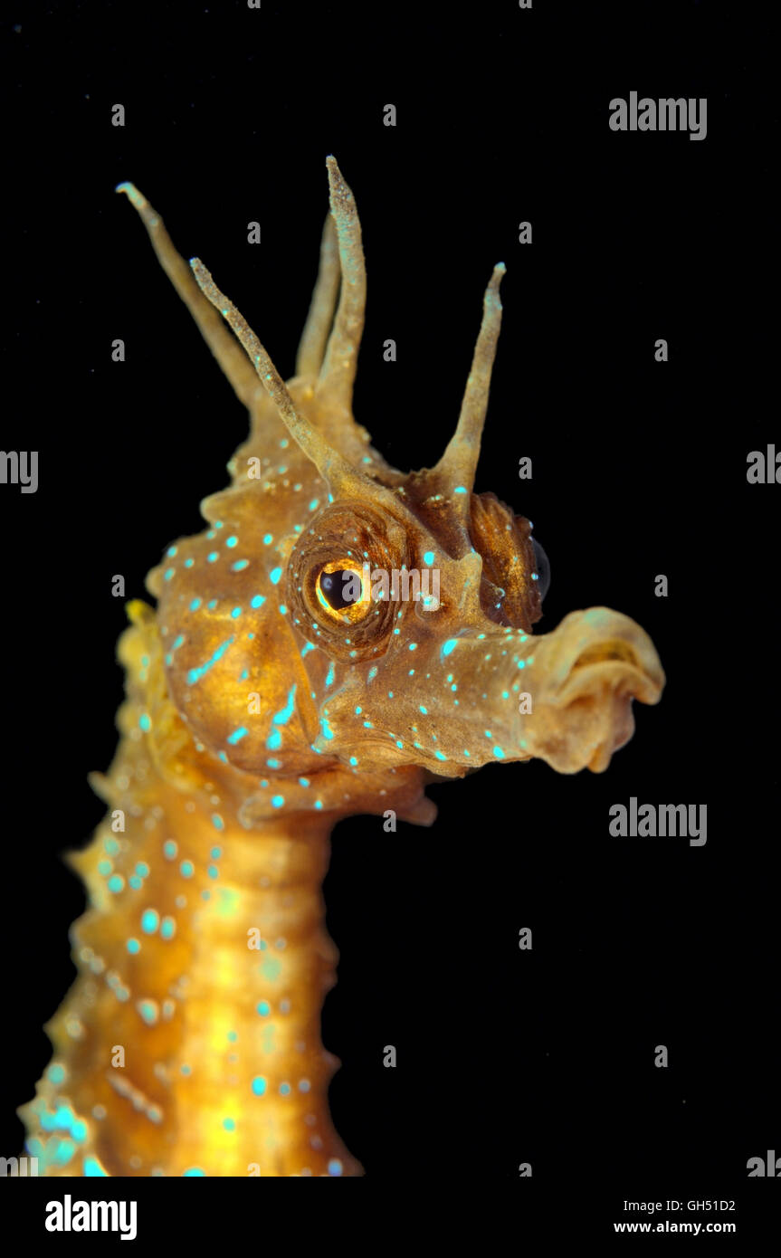 Portrait of a Maned Seahorse or Long-snouted seahorse (Hippocampus guttulatus) Black Sea - Stock Image