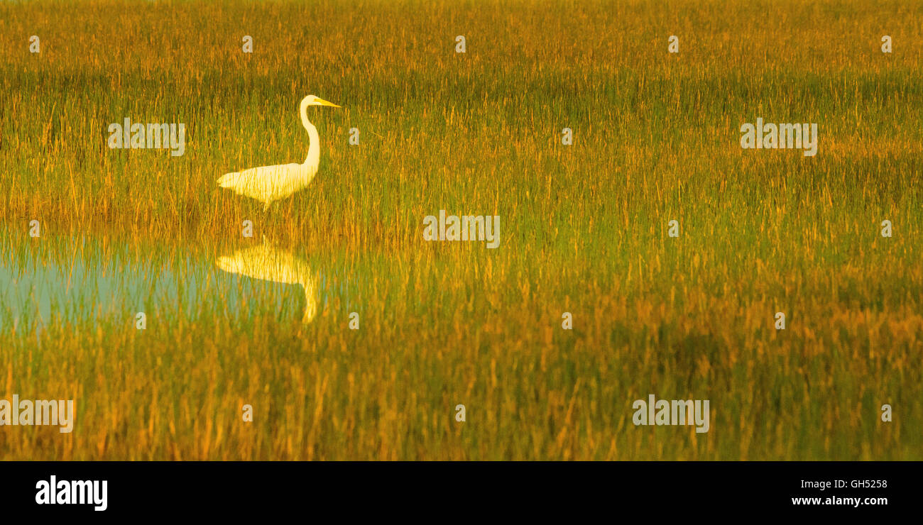 Great white egret in the sawgrass swamp - Stock Image