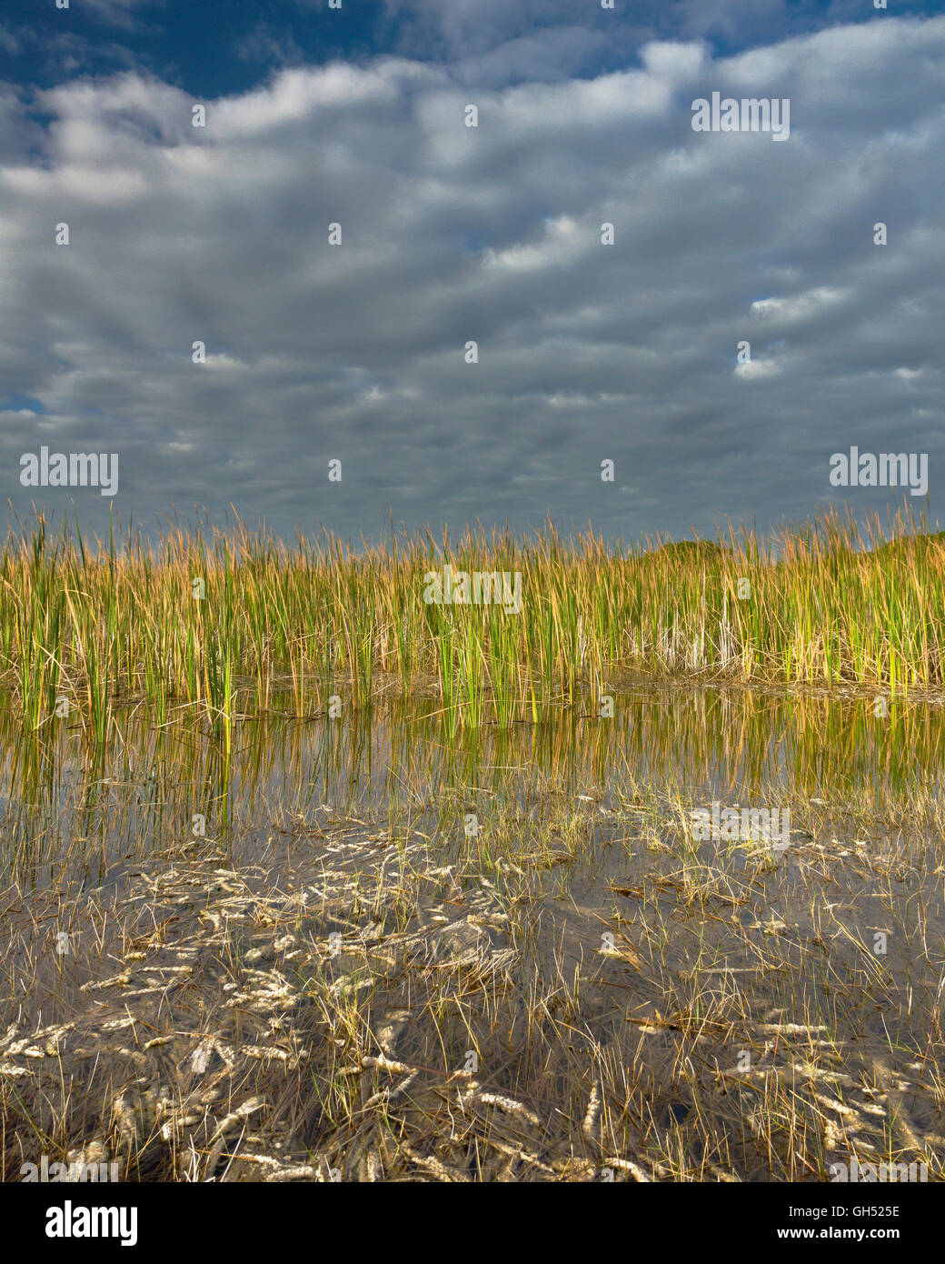 Sawgrass and periphyton in the Big Cypress - Stock Image