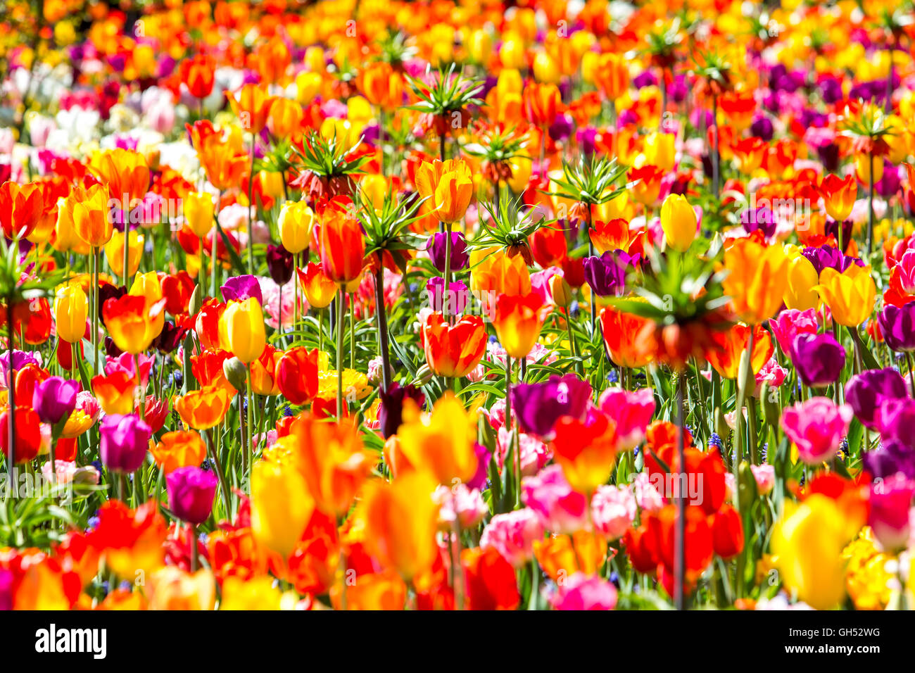 Many tulips on a field, flower bed, farming of flowers, growing area in the Netherlands, near Lisse, colorful, - Stock Image
