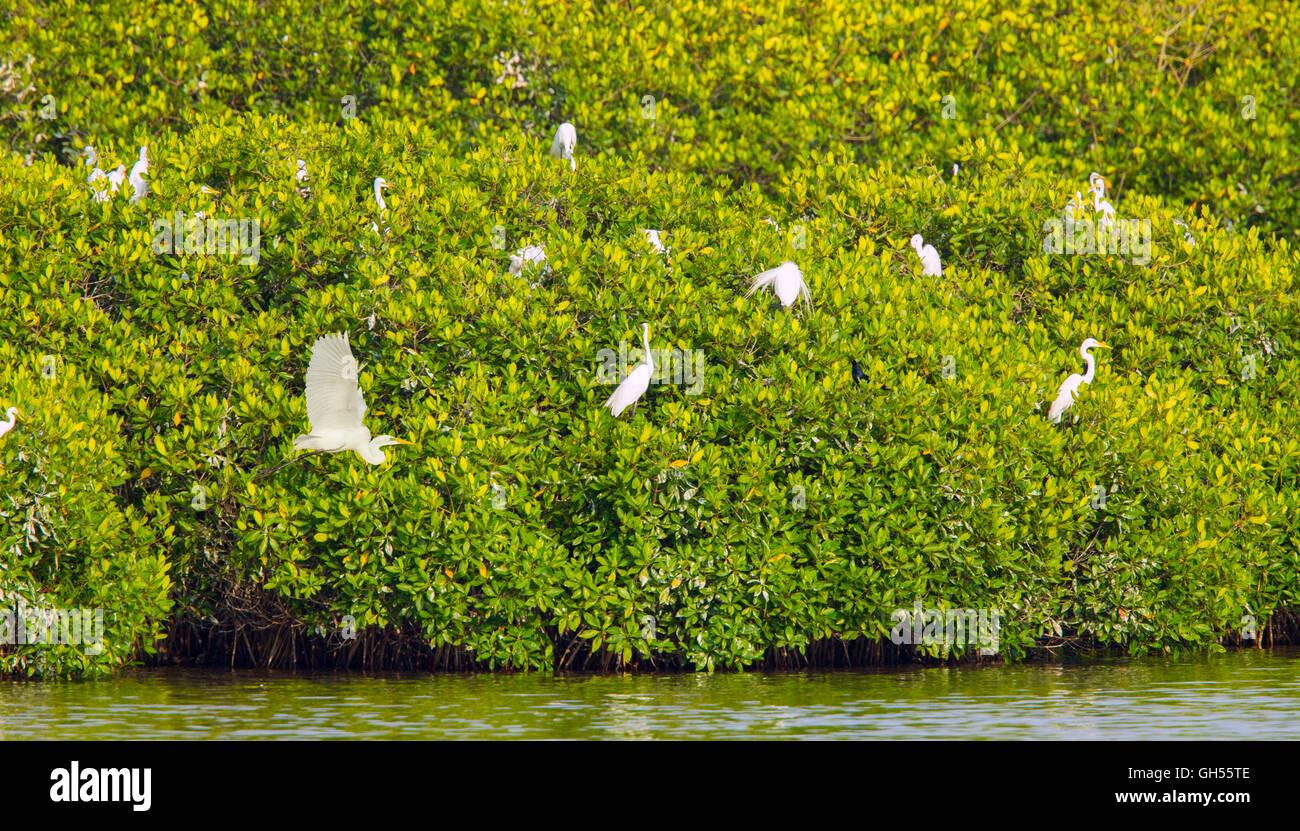 Great Egret  Ardea alba San Blas, Nayarit, Mexico 7 June   Adults at breeding colony in Mangroves.    Ardeidae - Stock Image