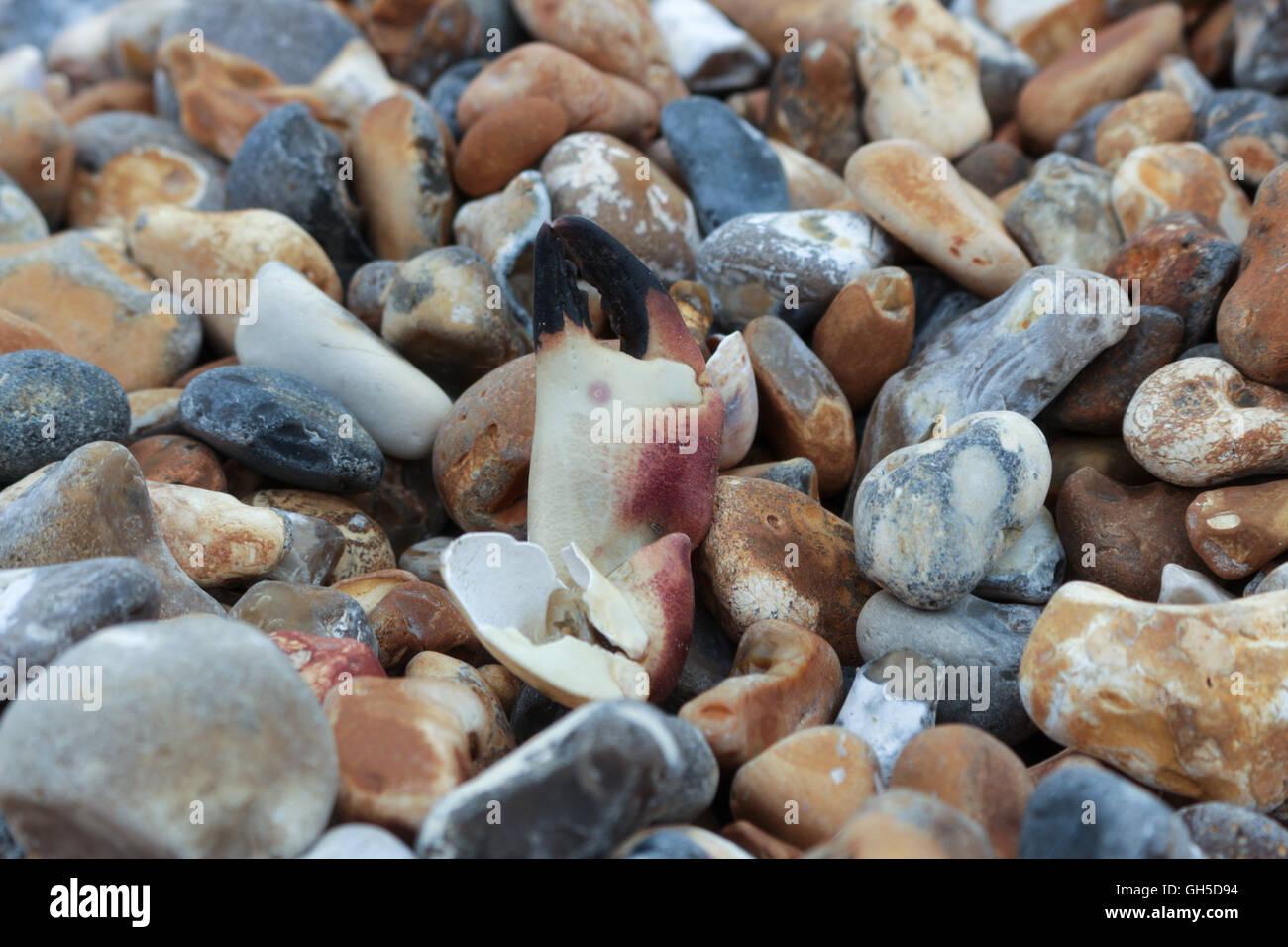 crab claw found on Seaford beach - Stock Image