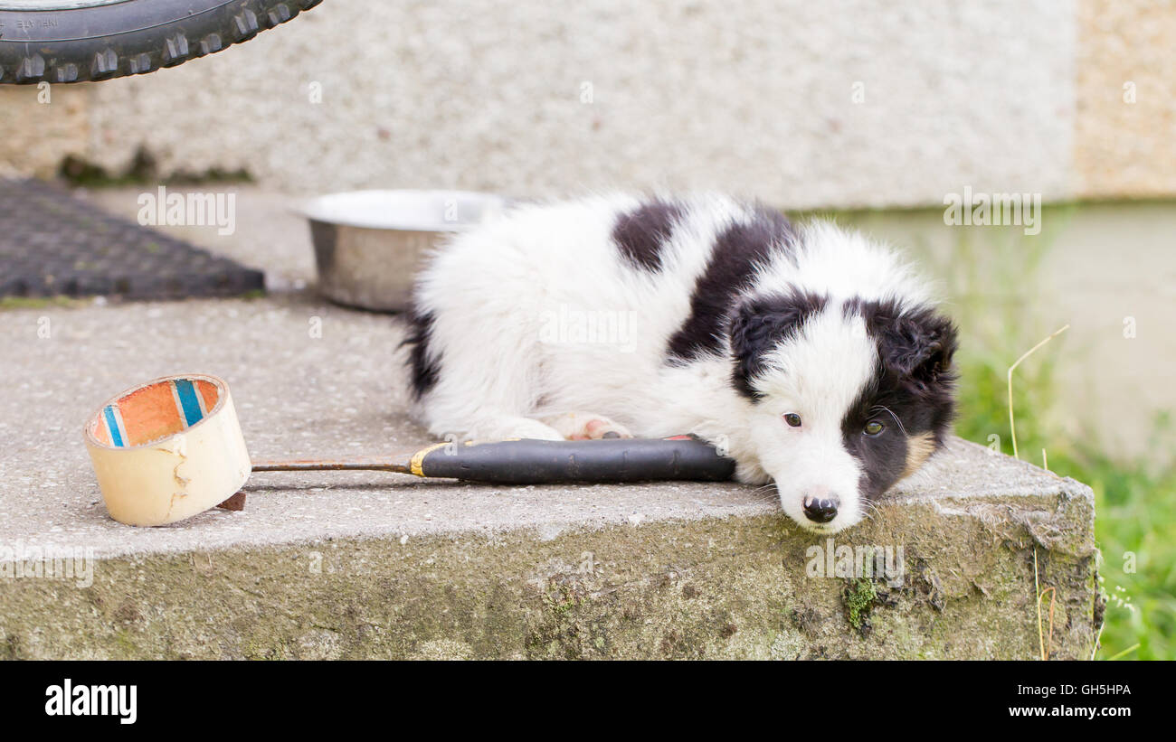 Small Border Collie puppy on a farm, brown eyed, resting - Stock Image