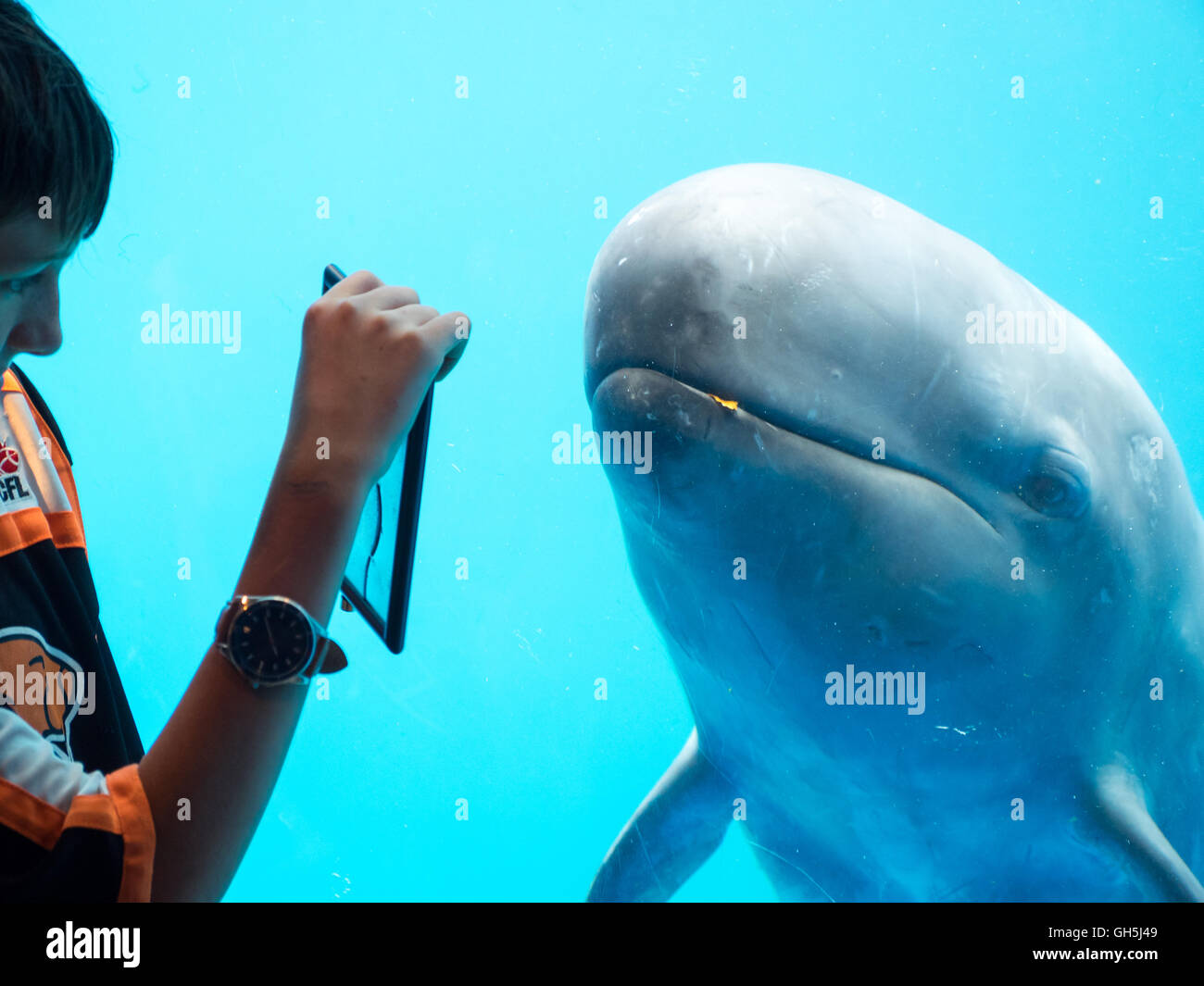 A child interacts with a False killer whale (Pseudorca crassidens) at the Vancouver Aquarium in Vancouver, Canada. - Stock Image