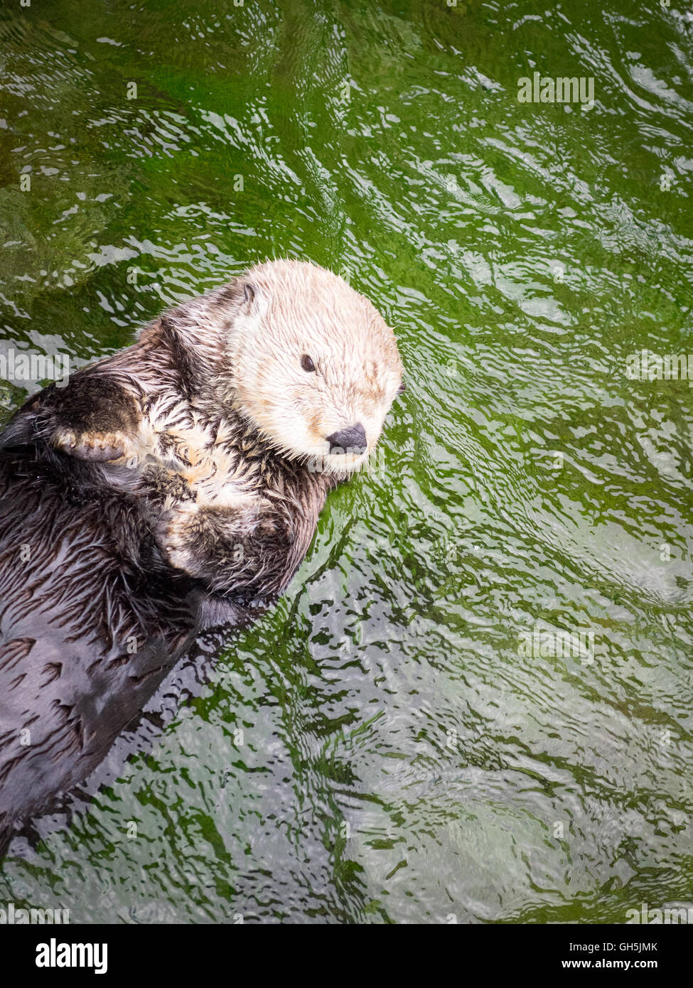 A female sea otter (Enhydra lutris) at the Vancouver Aquarium in Vancouver, British Columbia, Canada. - Stock Image