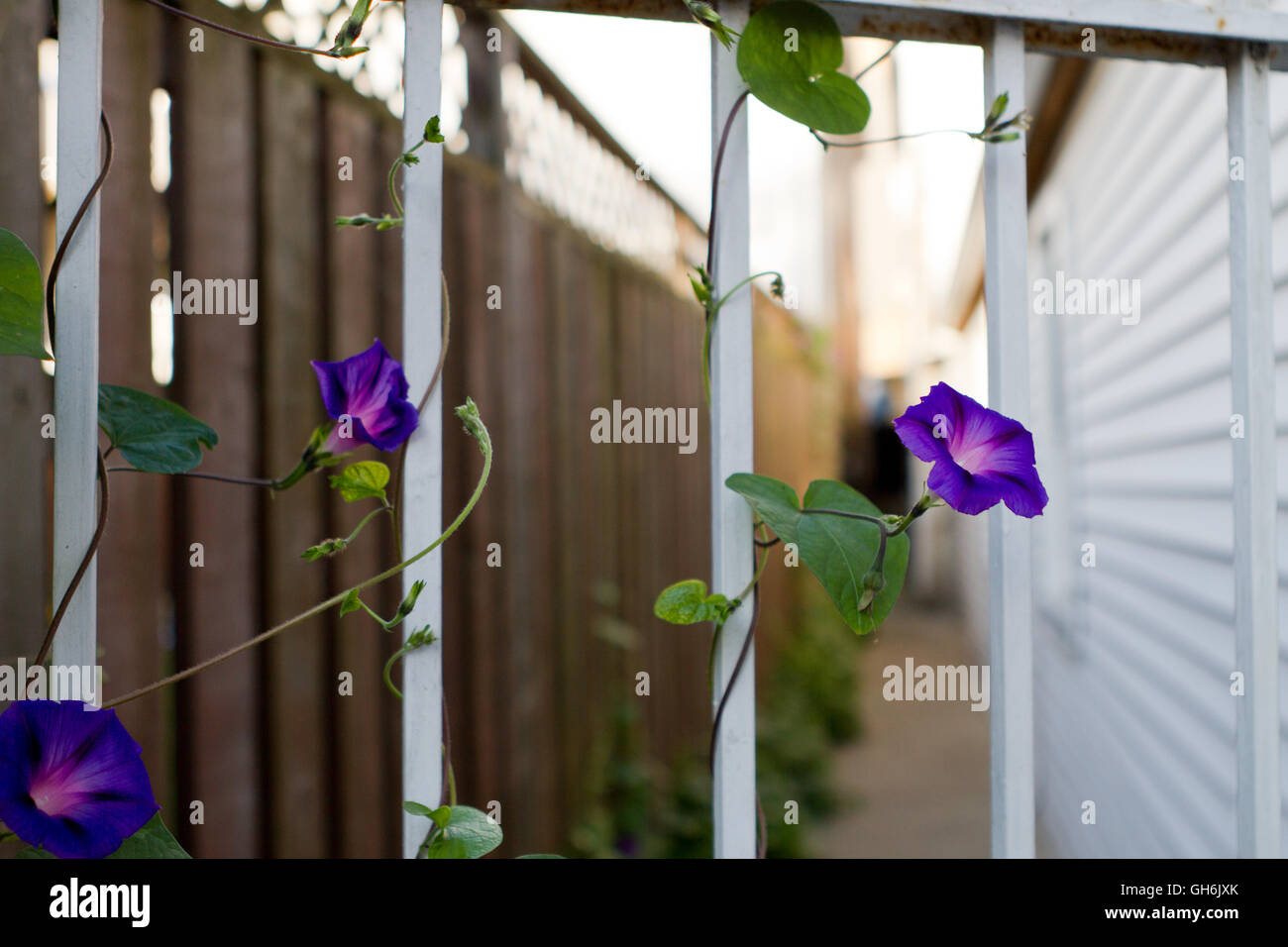 Morning glories on a white iron gate with residential alley behind - Stock Image
