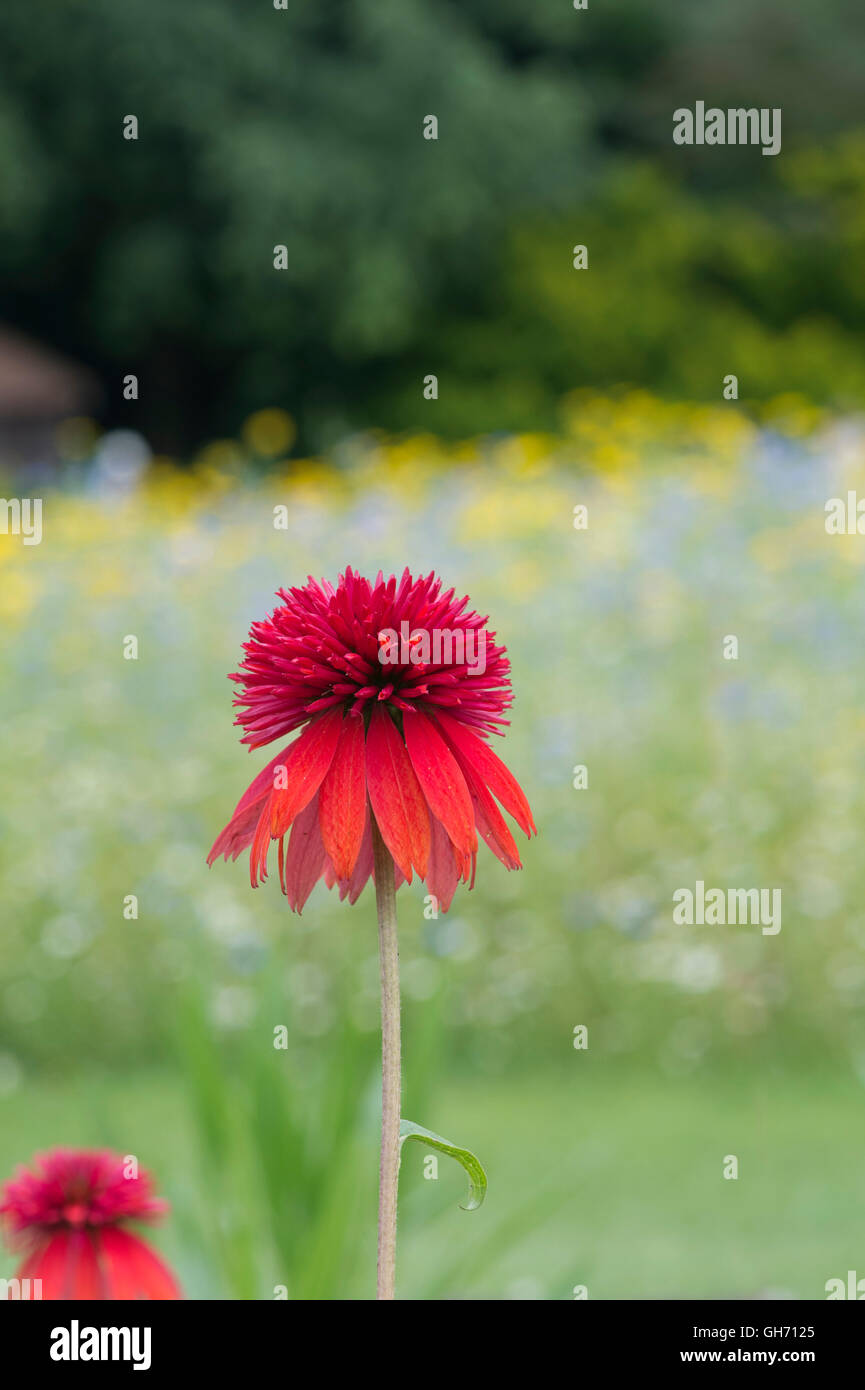Echinacea Double Scoop 'Orangeberry'. Coneflowers - Stock Image
