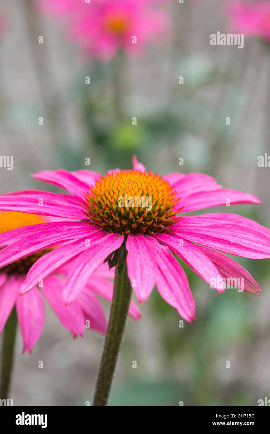 Echinacea purpurea 'Pink Shimmer' . Coneflower - Stock Image