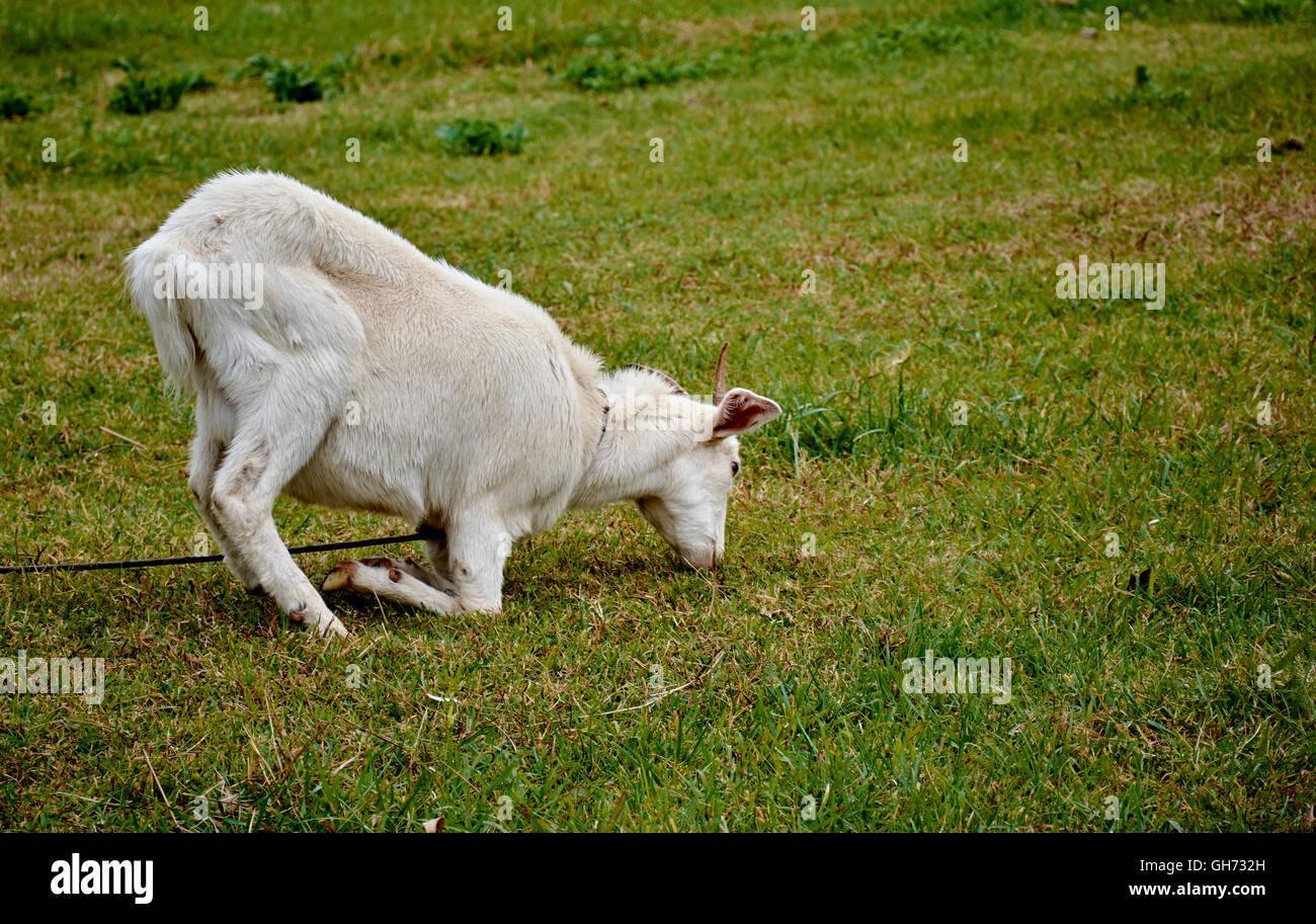 A goat eating in a particularly weird position in the fields of Gouin, in Buenos Aires, Argentina. - Stock Image