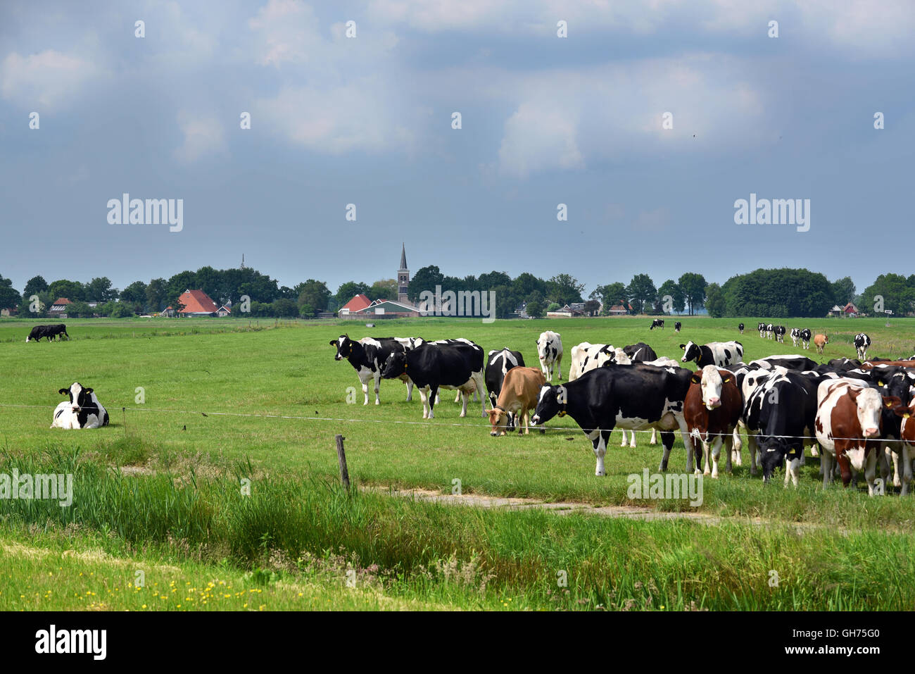 Friesian landscape with cattle in Friesland, The Netherlands. - Stock Image