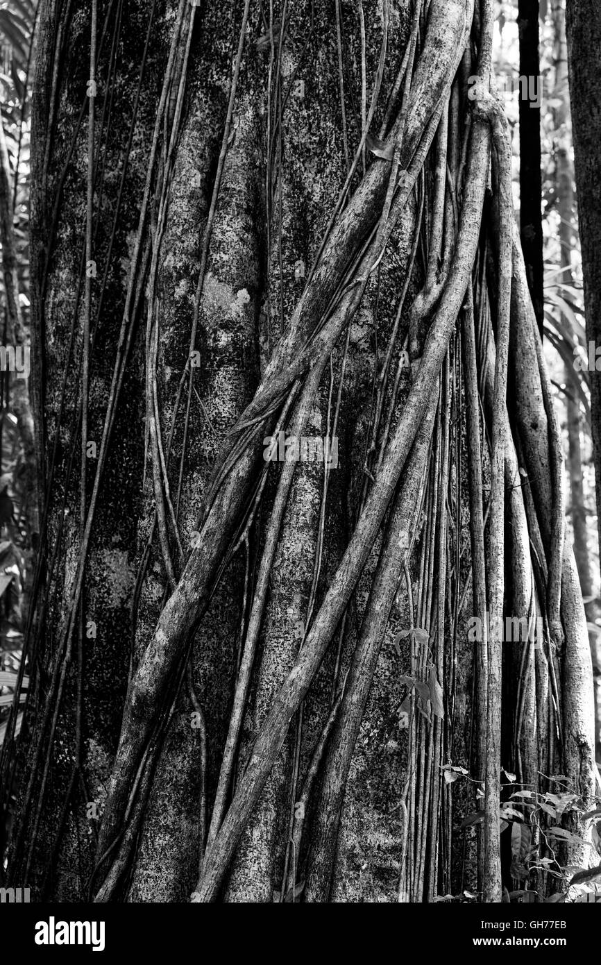 Massive tree is buttressed by roots within Tangkoko National Park in North Sulawesi, Indonesia. This park is home - Stock Image