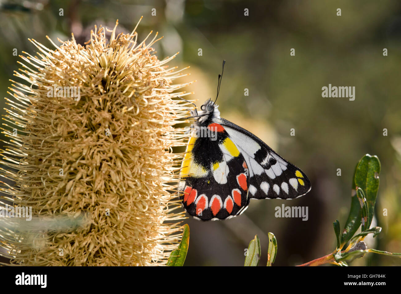 Spotted Jezebel Butterfly (Delias aganippe) feeding on Banksia flower - Stock Image