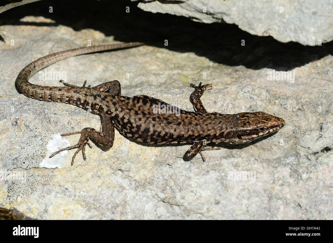 Adult male wall lizard basking Stock Photo