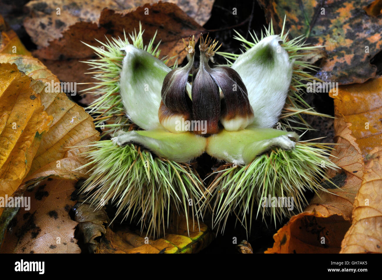 sweet chestnut castanea sativa - Stock Image
