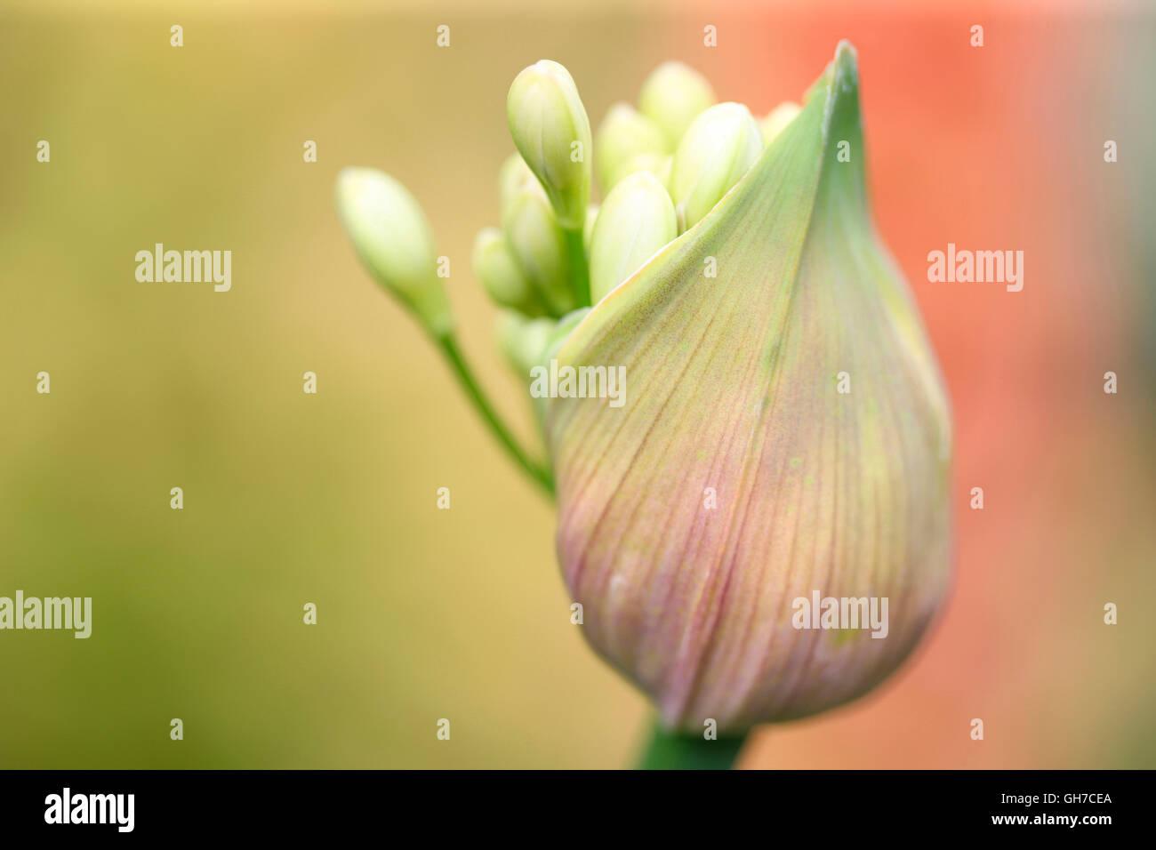 Agapanthus seed pod bursting with nature's energy Jane Ann Butler Photography JABP1550 - Stock Image