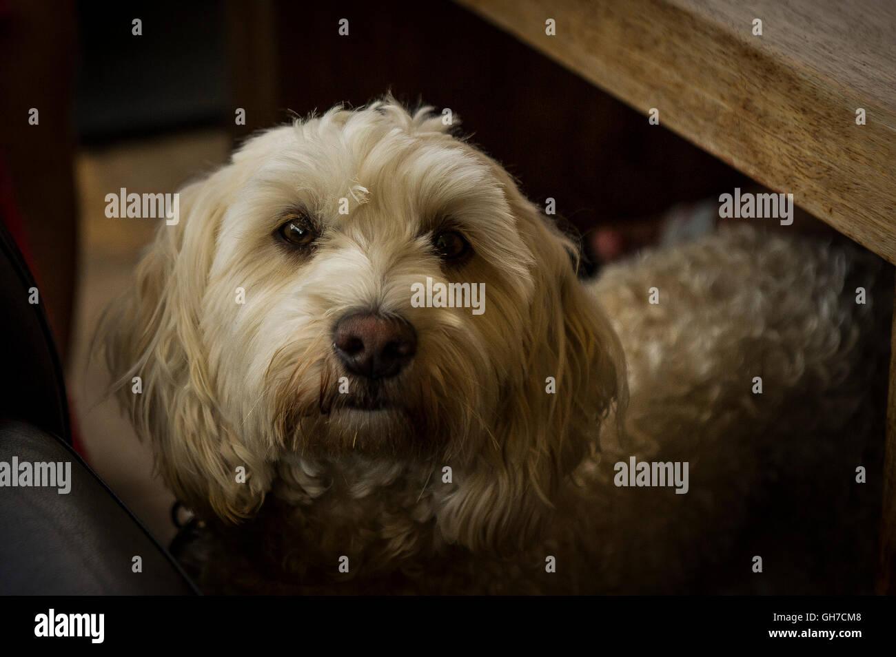 A Cockapoo, a mixed-breed dog. - Stock Image