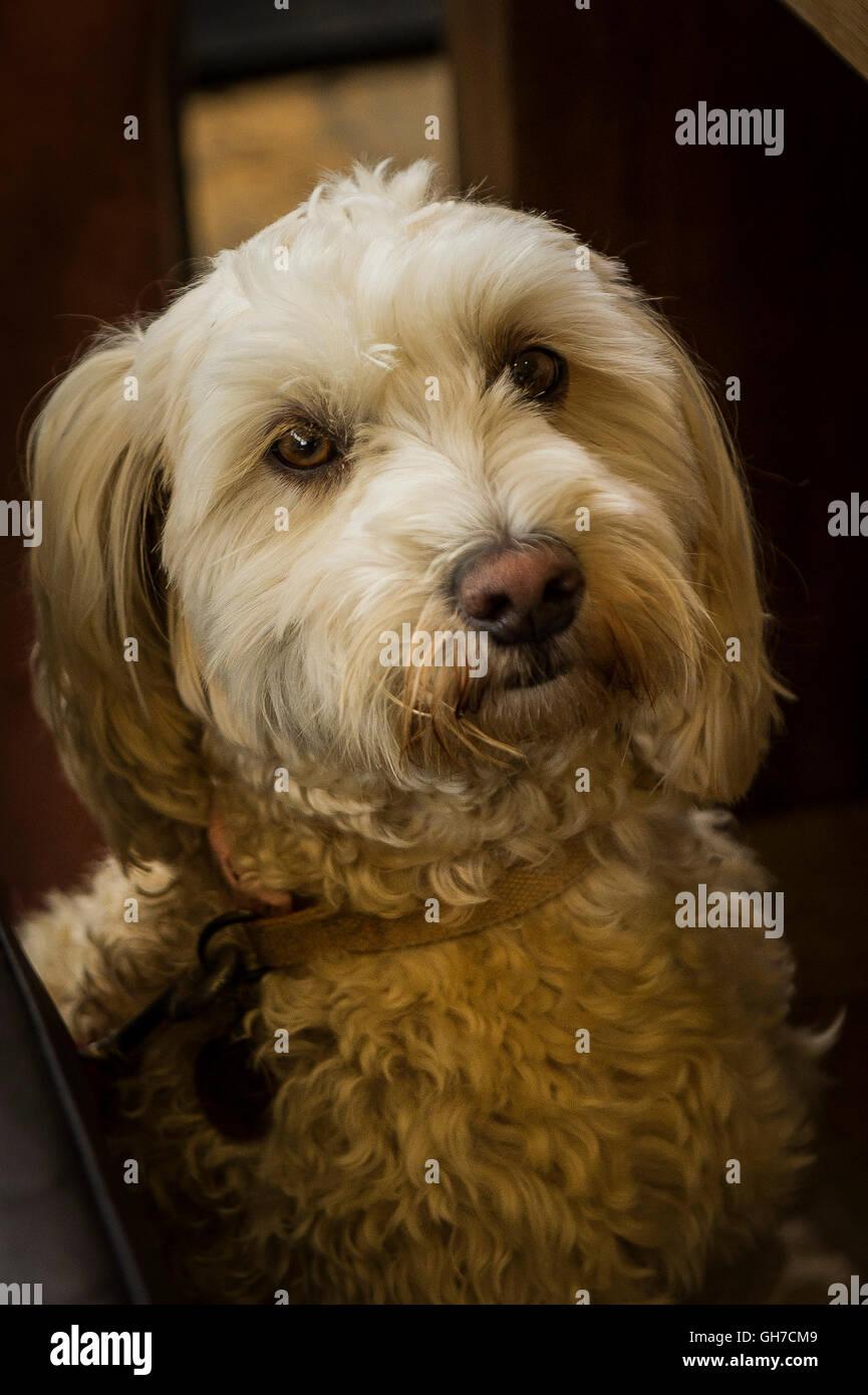A Cockapoo, a mixed breed dog. - Stock Image