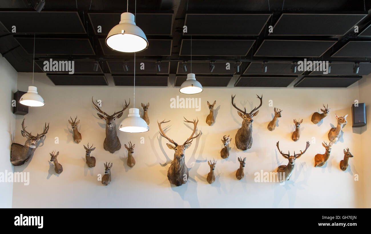 Hunter's trophy room with collection of stuffed deer heads hanging on a wall as hunting trophies - Stock Image