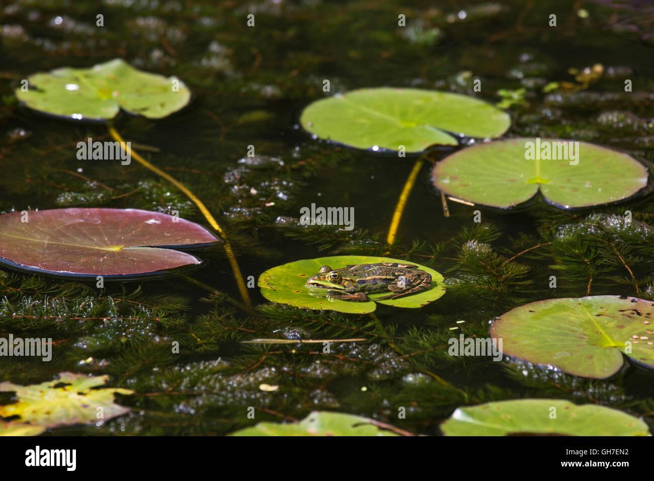Edible frog / green frog (Pelophylax kl. esculentus / Rana kl. esculenta) sitting on floating leaf of waterlily - Stock Image