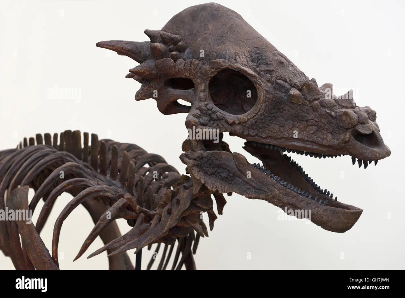 Pachycephalosaurus herbevorous dinosaur skeleton cast of fissil bones from Cretaceous period ROM Royal Ontario Museum - Stock Image
