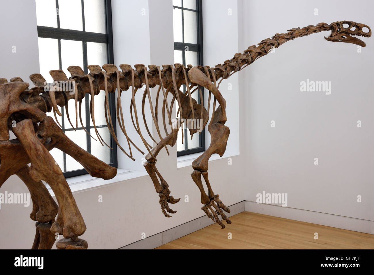 Cast of bipedal Triassic era Plateosaurus progenitor of the giant sauropods at ROM Toronto - Stock Image