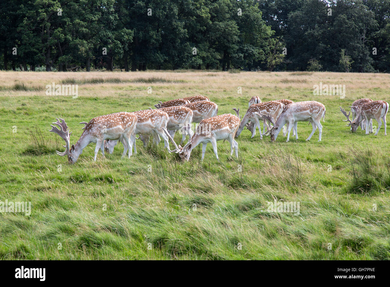 Fallow deer (Latin - Dama Dama), in England. - Stock Image
