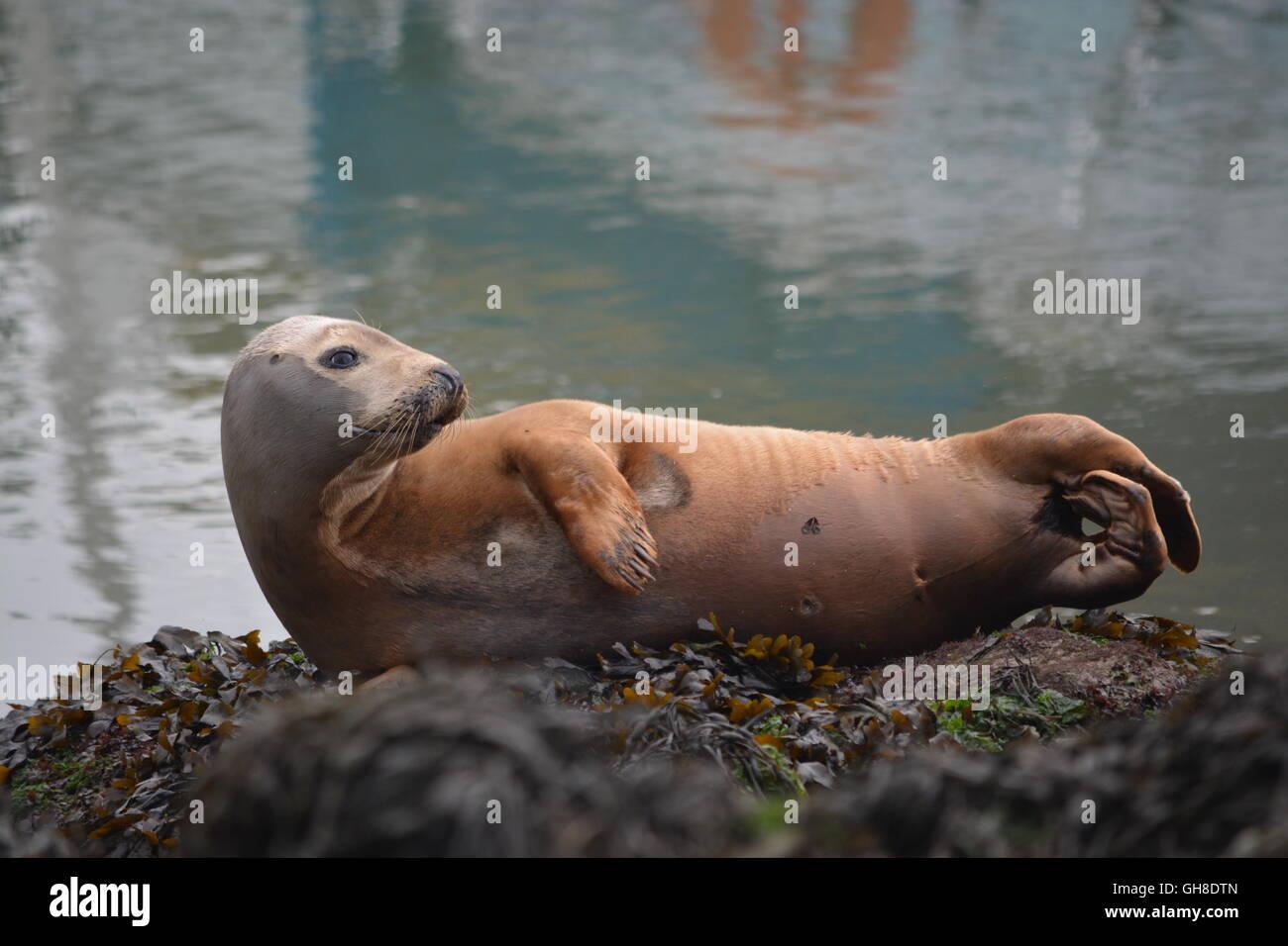 Juvenile grey seal hauled out at Town Quay marina, Southampton in 2016 - Stock Image