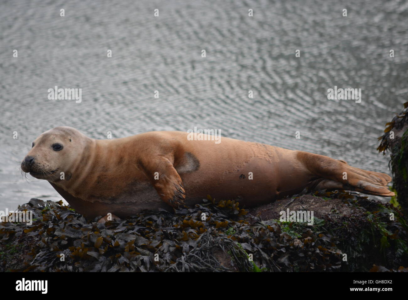 Grey seal hauled out on Town Quay,Southampton - Stock Image
