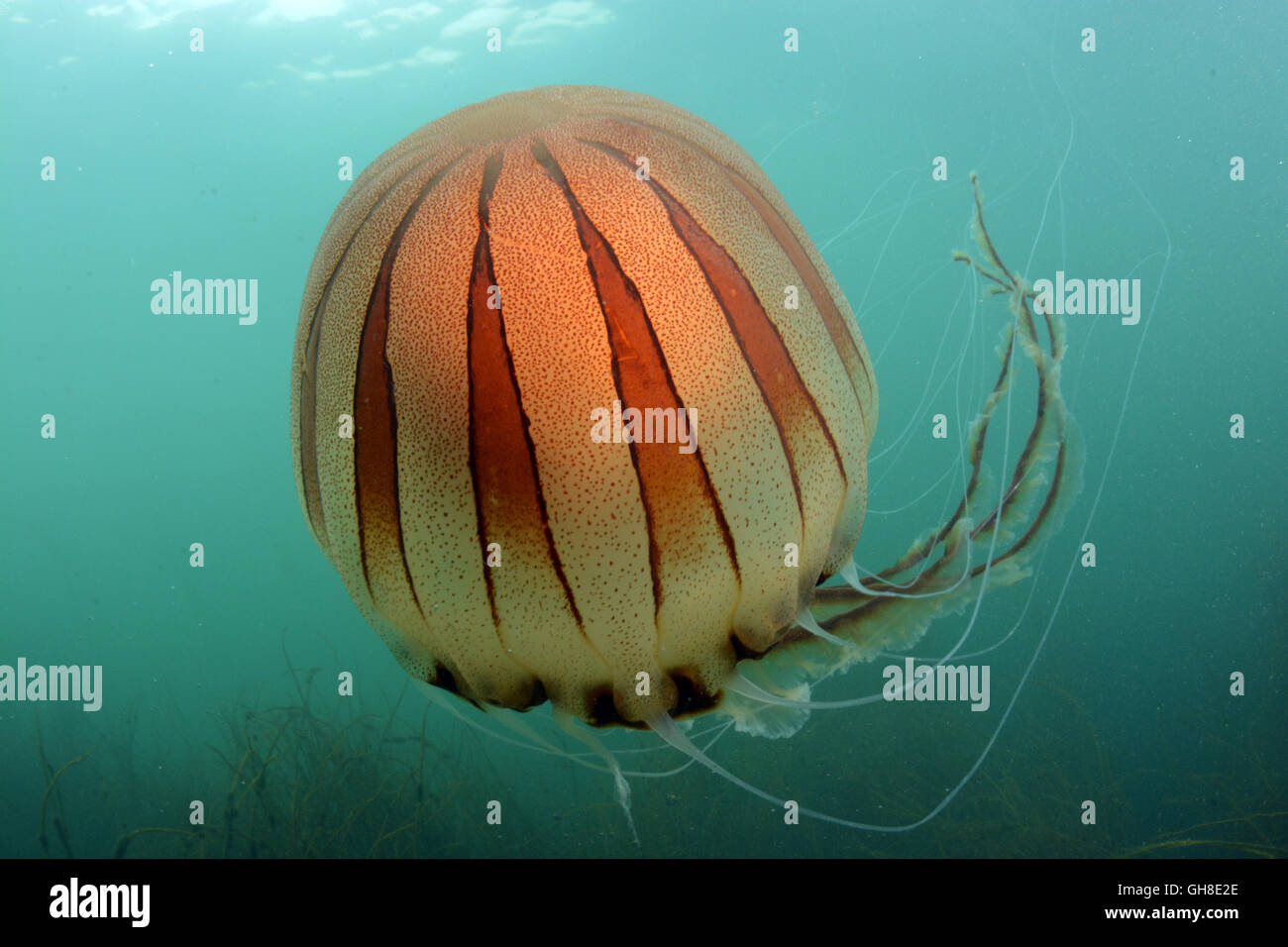 Compass jellyfish recorded at Thurlestone, South Devon - Stock Image