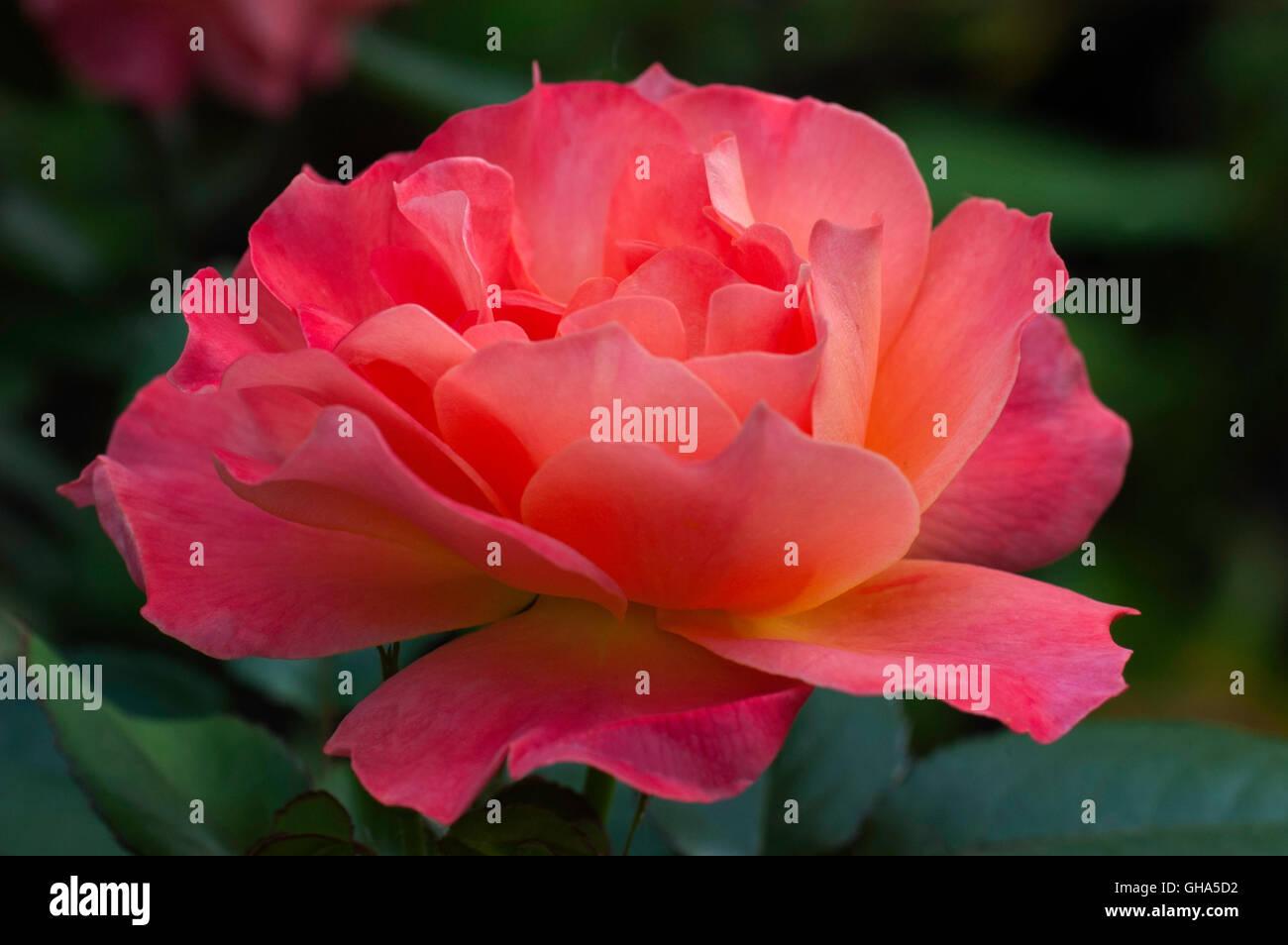 Rose, Rosa, Living Easy, Livinu0027 Easy,   Stock Image