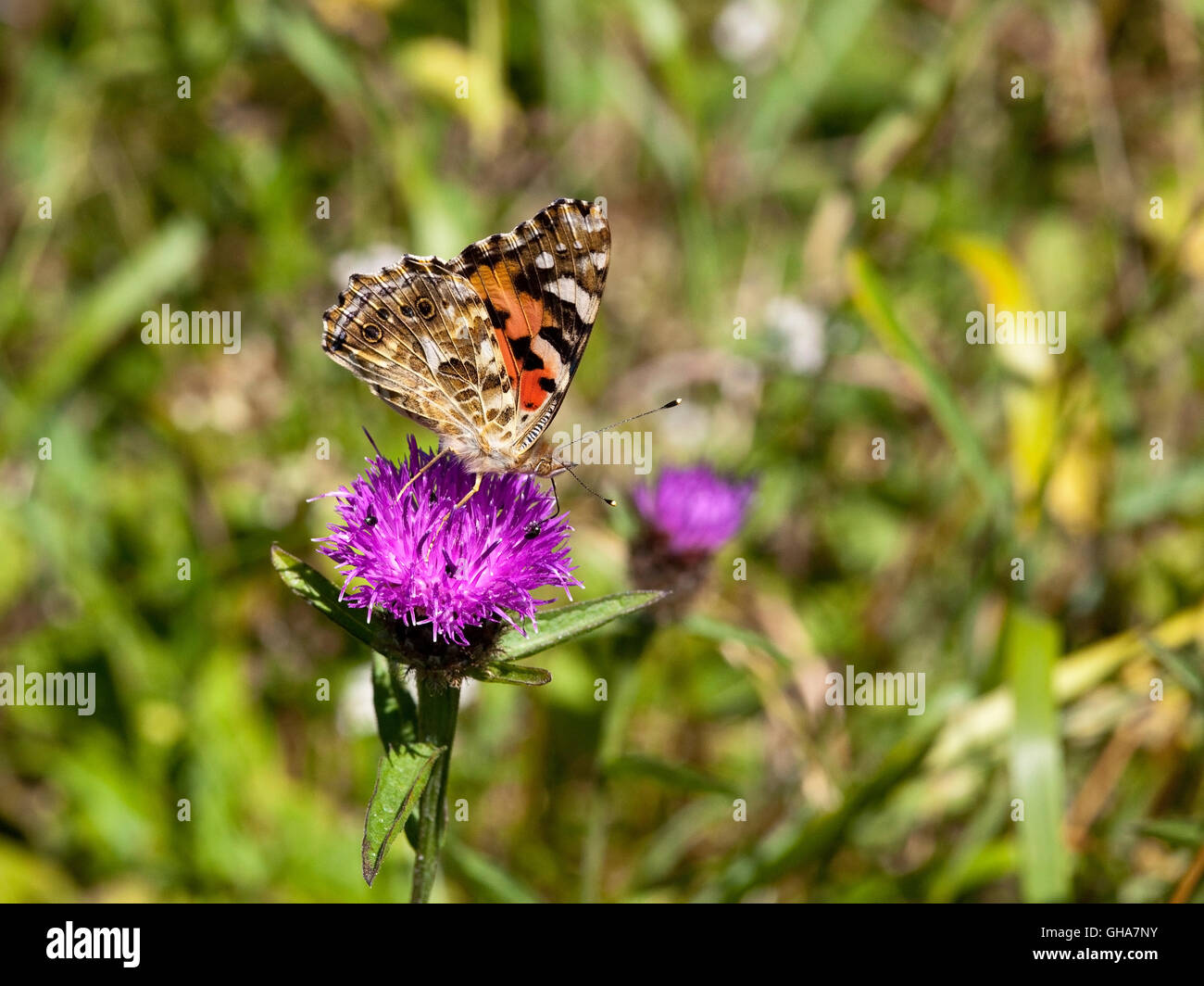 A painted lady butterfly, Cynthia cardui feeds from a purple knapweed flower in summertime. Stock Photo