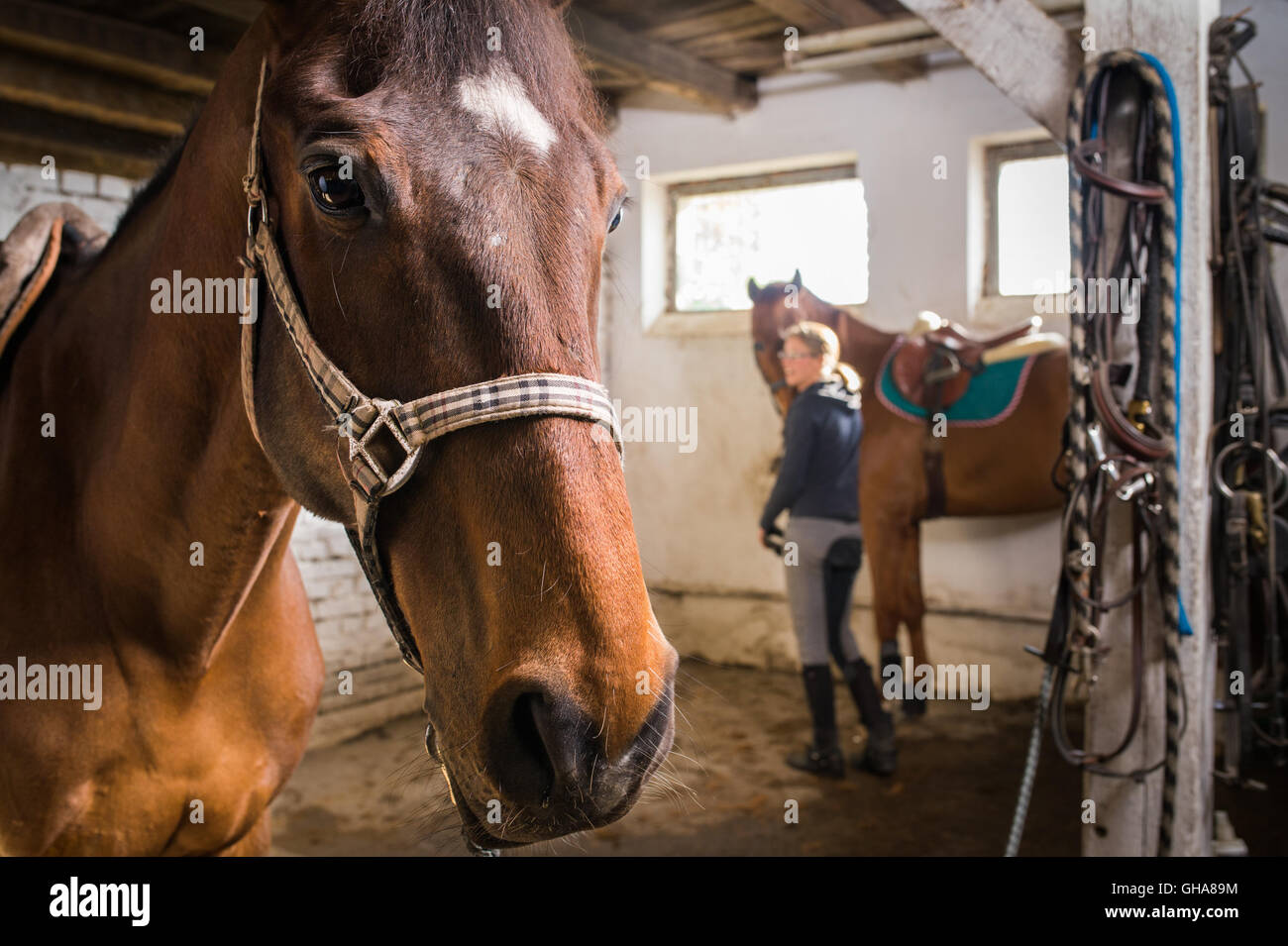 Close-up of  portrait horse in the stable - Stock Image
