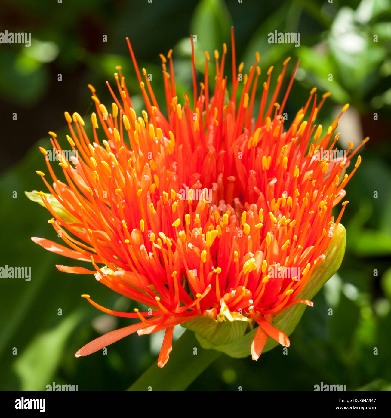 botany, Feuerball-Blume (Haemanthus multiflorus), Additional-Rights-Clearance-Info-Not-Available - Stock Image