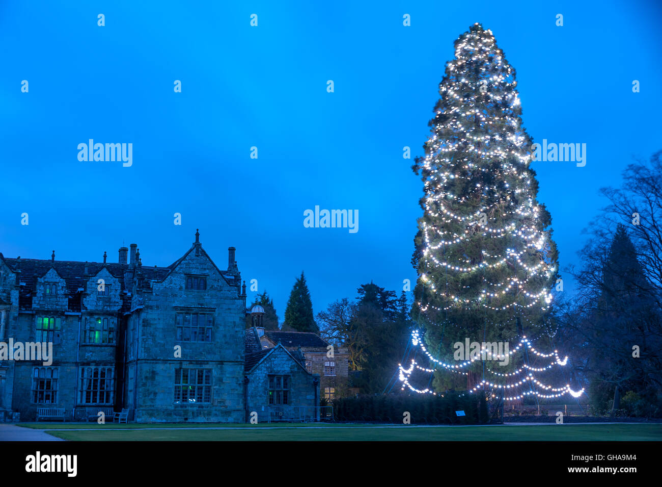 The UK's largest christmas tree, at Wakehurst Place in southern ...