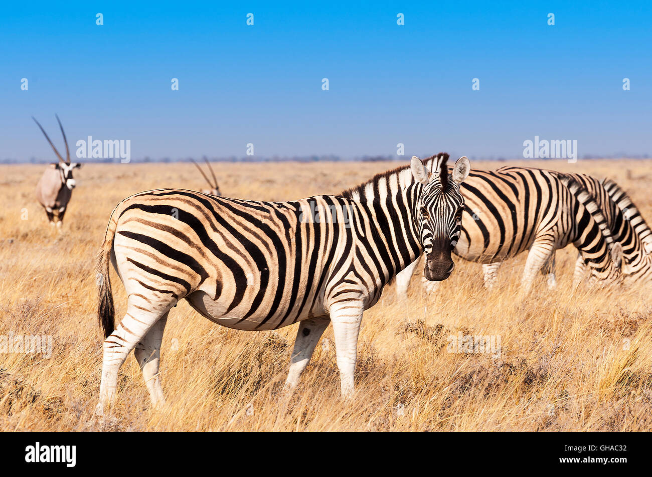 Group of Zebras  and Oryx in the Etosha National Park in Namibia, Concept for travel in Africa and Safari Stock Photo