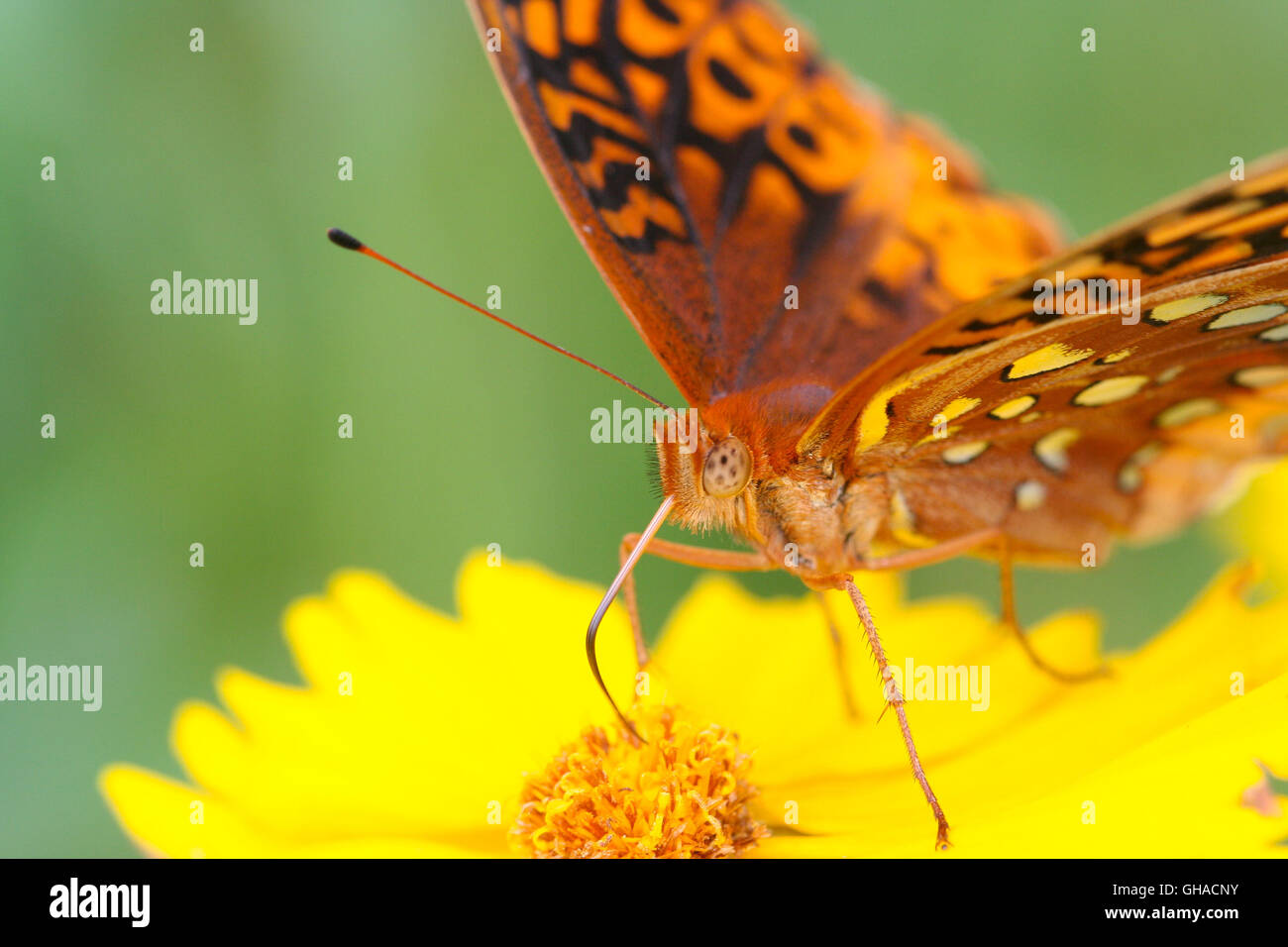 A closeup of a Great Spangled Fritillary butterfly (Speyeria cybele) nectaring on tickseed flower (Coreopsis sp.), - Stock Image