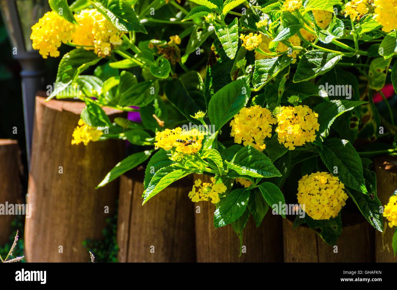 Yellow Lantana so happy growing in full sun - Stock Image
