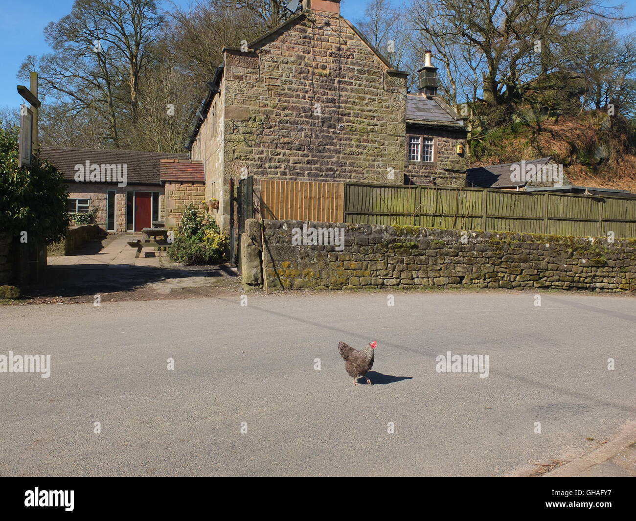 Why did the chicken cross the road? A chicken crossing the road outside the Druid Inn, Birchover, Derbyshire. - Stock Image