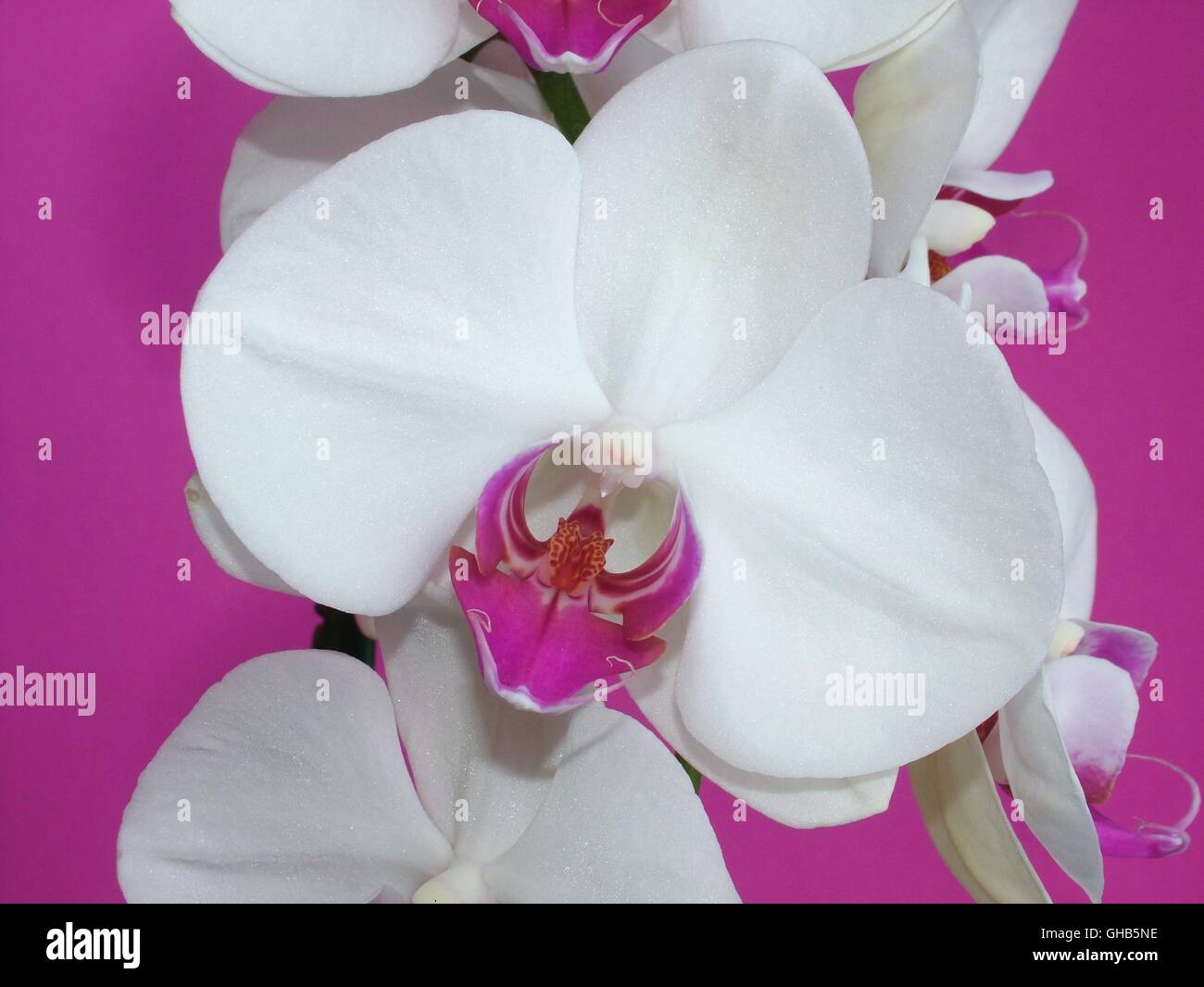 Close-up of a white Phalaenopsis orchid flower on a fuchsia background - Stock Image