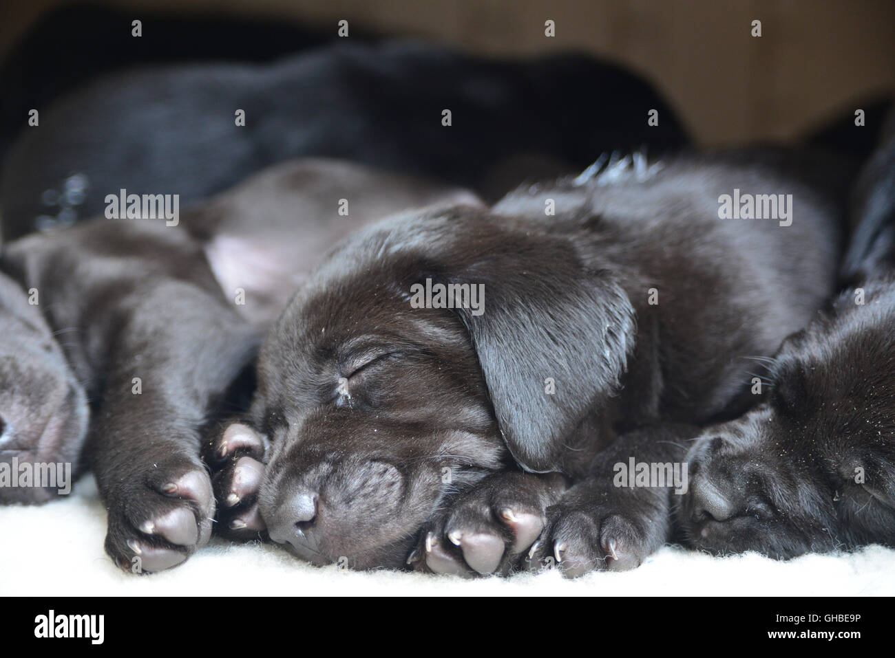 Black Labrador puppies sleeping on decking together in a bundle - Stock Image