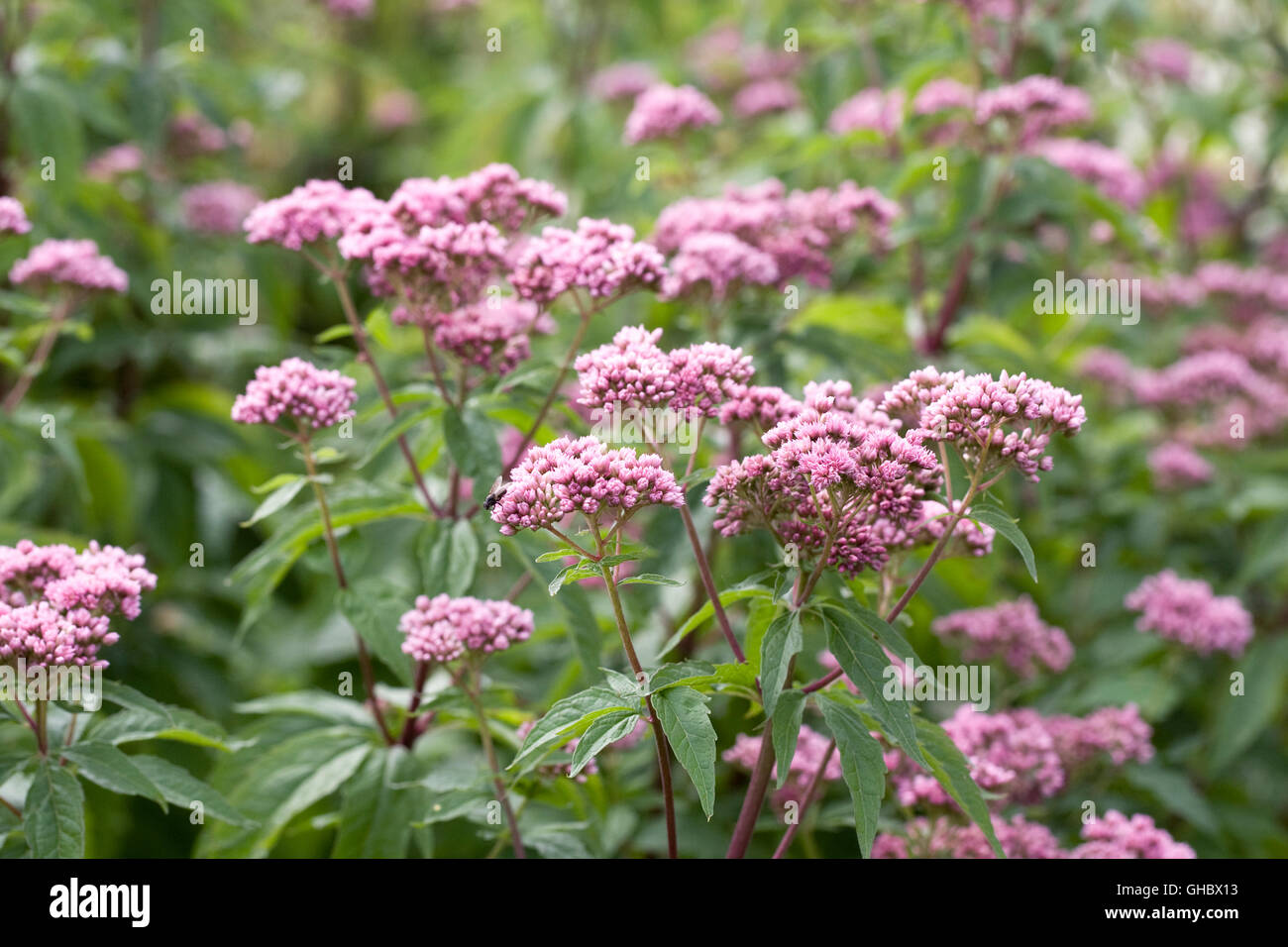 Eupatorium maculatum 'Atropurpureum Group'. Joe Pye weed flower. - Stock Image
