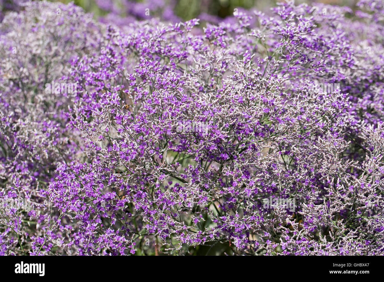 Limonium platyphyllum 'Violetta'. Broad leaved statice. - Stock Image