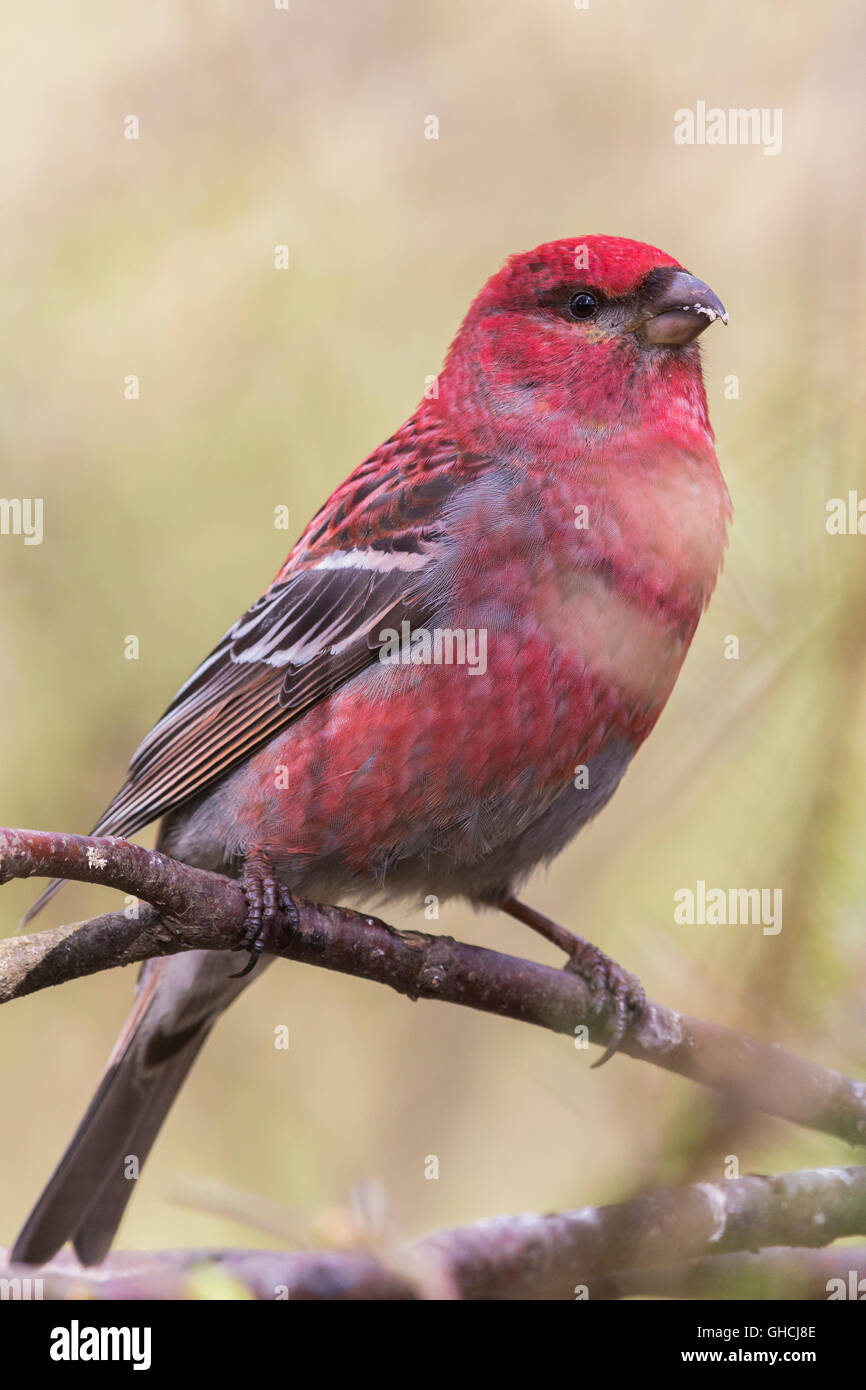 Pine Grosbeak (Pinicola enucleator), adult male perched on a branch, Kaamanen, Lappland, Finland - Stock Image