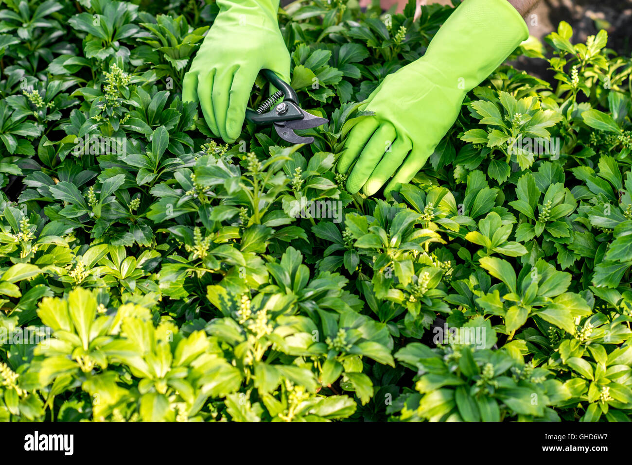 Pruning plants with scissors - Stock Image