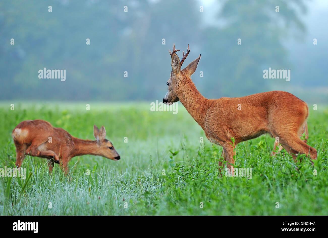 Wild roe deer and roe deer cub in a field - Stock Image
