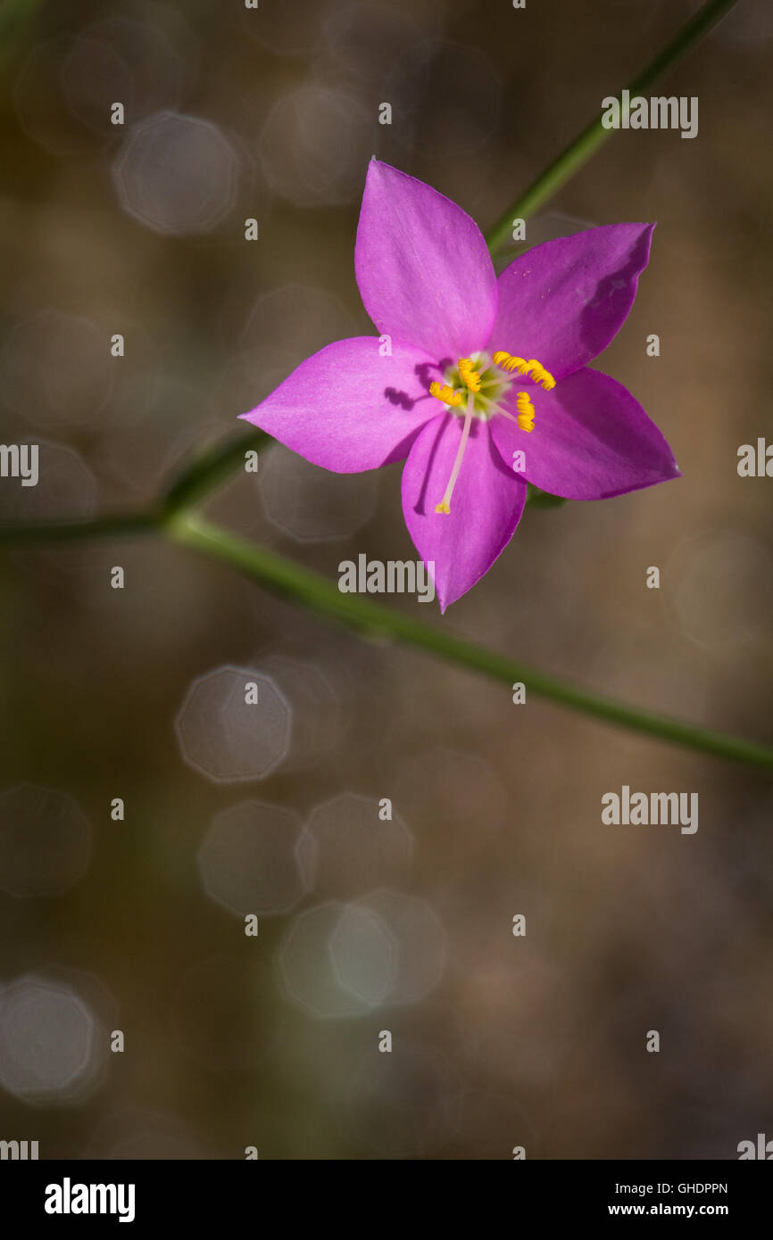 A fresh pink Prairie Rose-Gentian, Sabatia campestris, blooming along the moist banks of Glenn Spring in the Chihuahuan - Stock Image