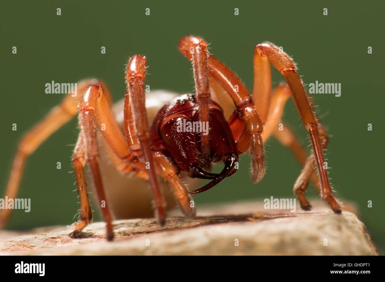 Woodlouse Spider Dysdera crocata UK - Stock Image