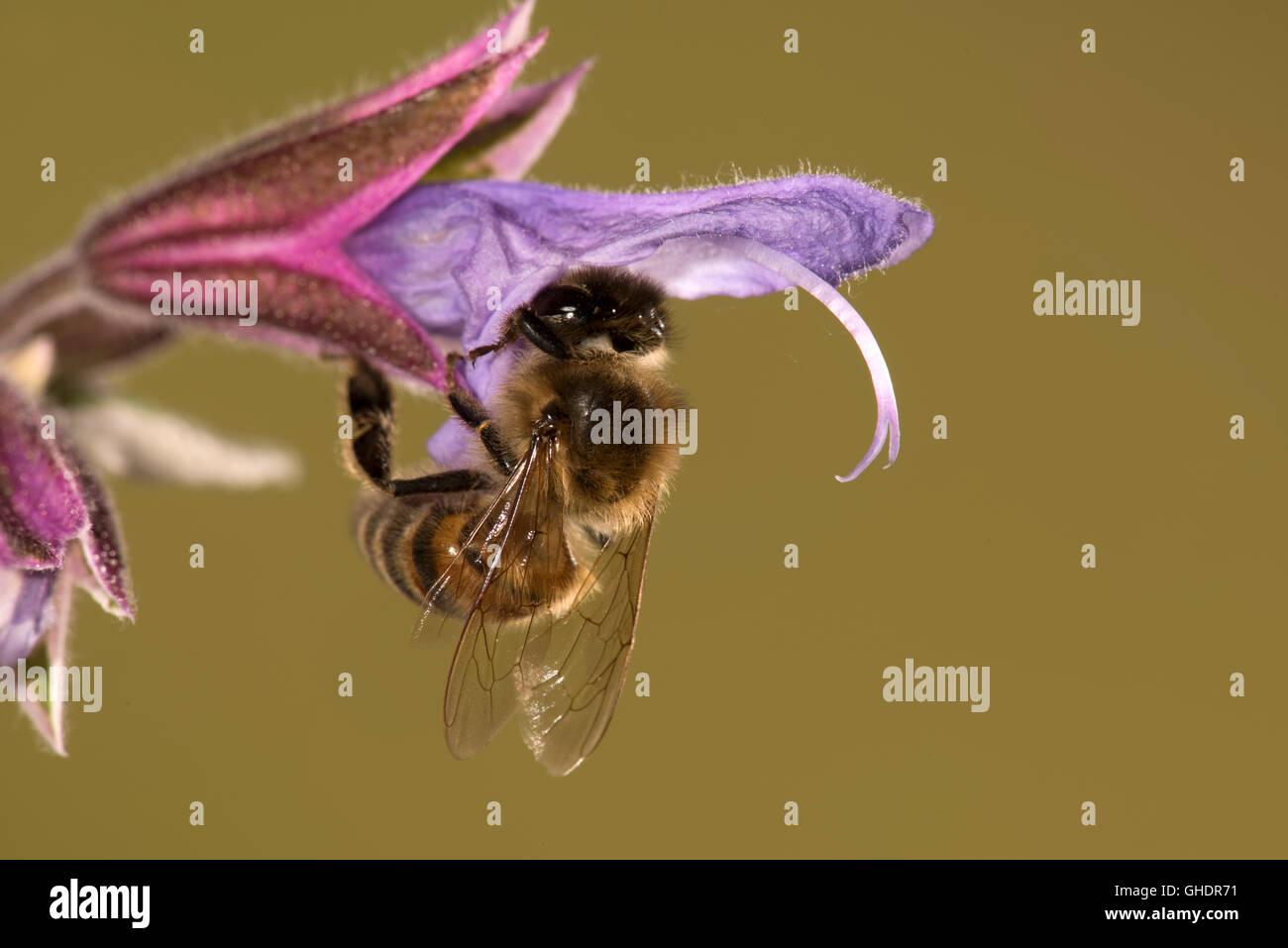 Honey Bee Apis mellifera - Stock Image