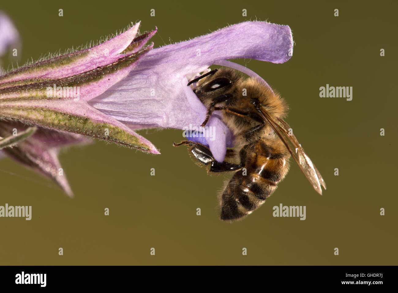 Honey Bee Apis mellifera - Stock Image