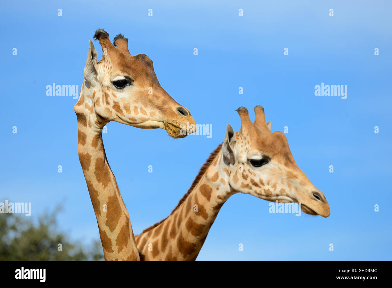 Pair of Reticulated Giraffes or Somali Giraffes, Giraffa camelopardalis reticulata - Stock Image